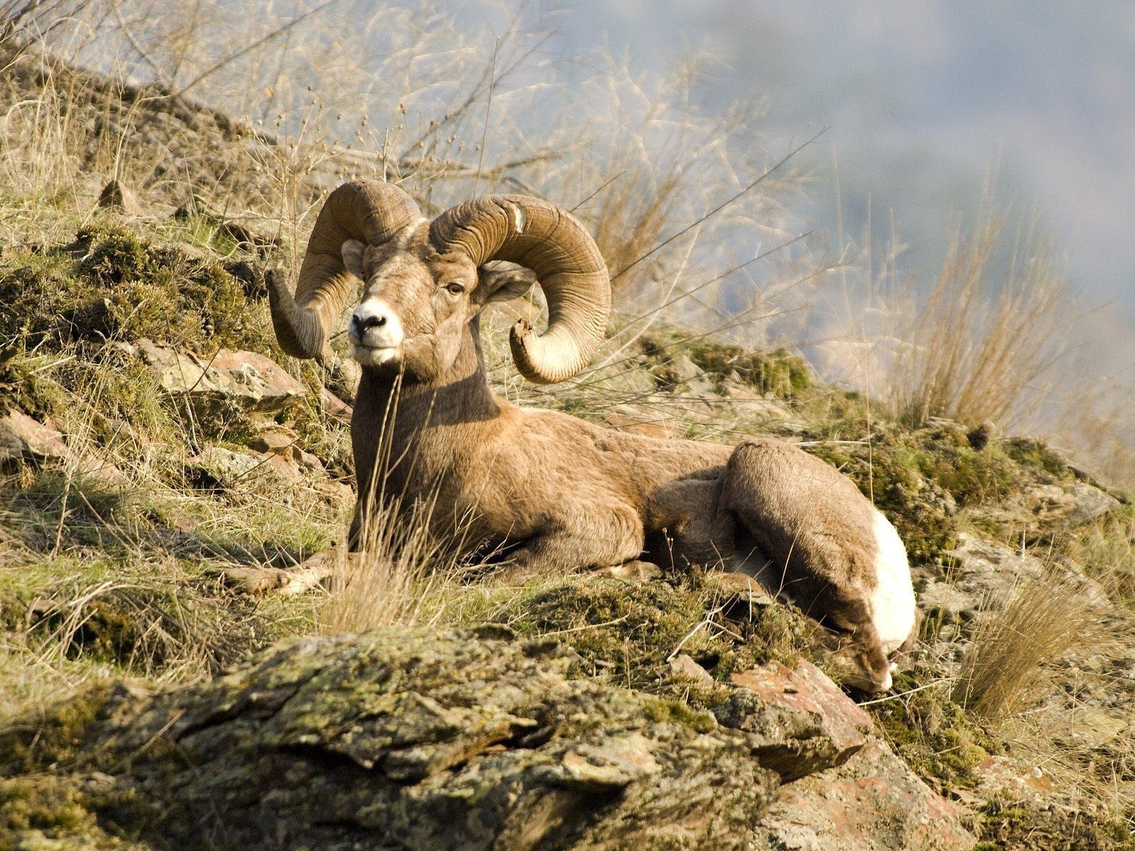 Hình nền : Cừu núi, nói dối, Núi 1600x1200 - - 660719 - Hình nền đẹp hd -  WallHere