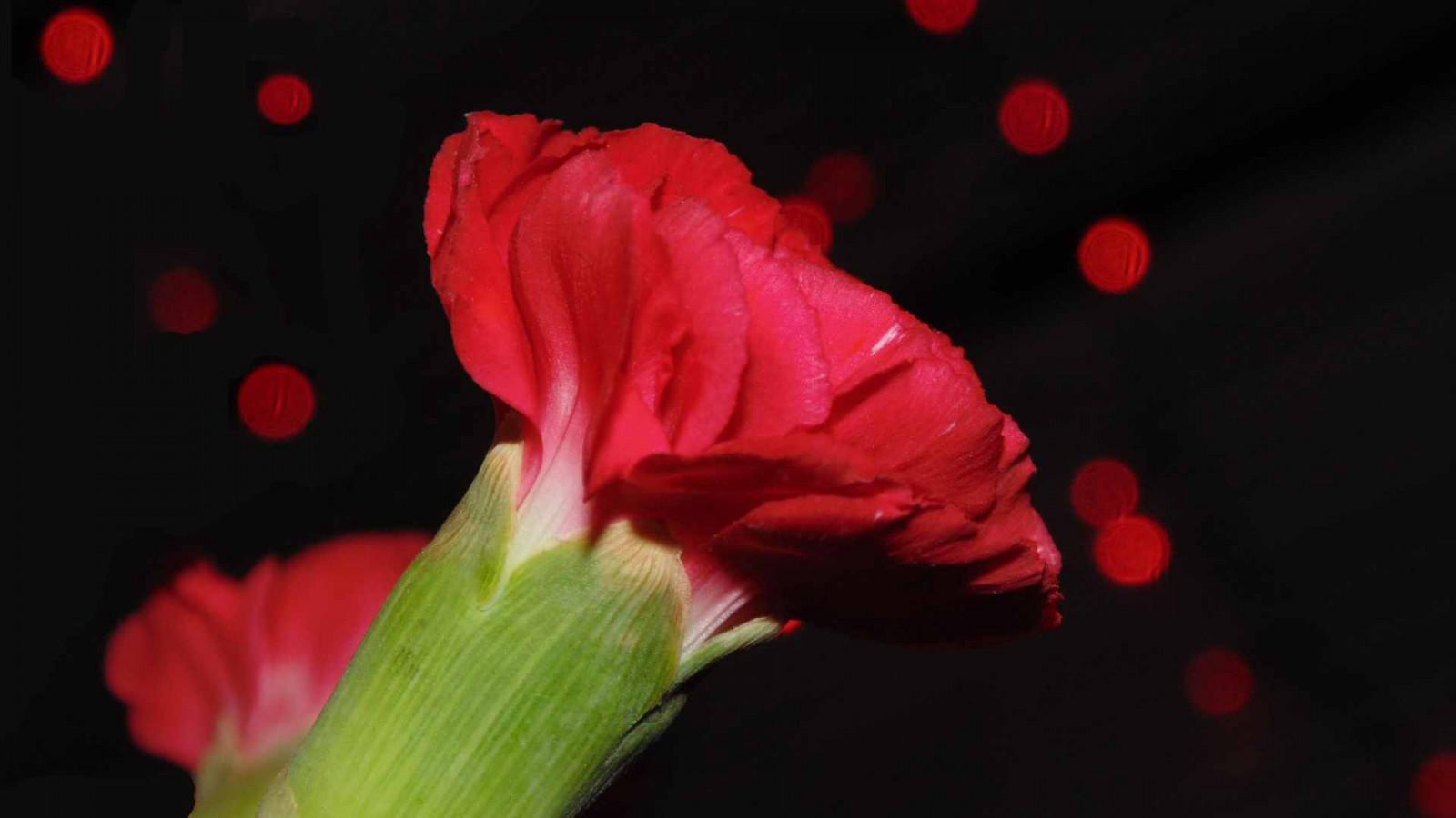 Wallpaper flowers light red flower love beautiful lights flowers light red flower love beautiful lights petals rojo pretty bokeh petal carnation carnations mightylinksfo
