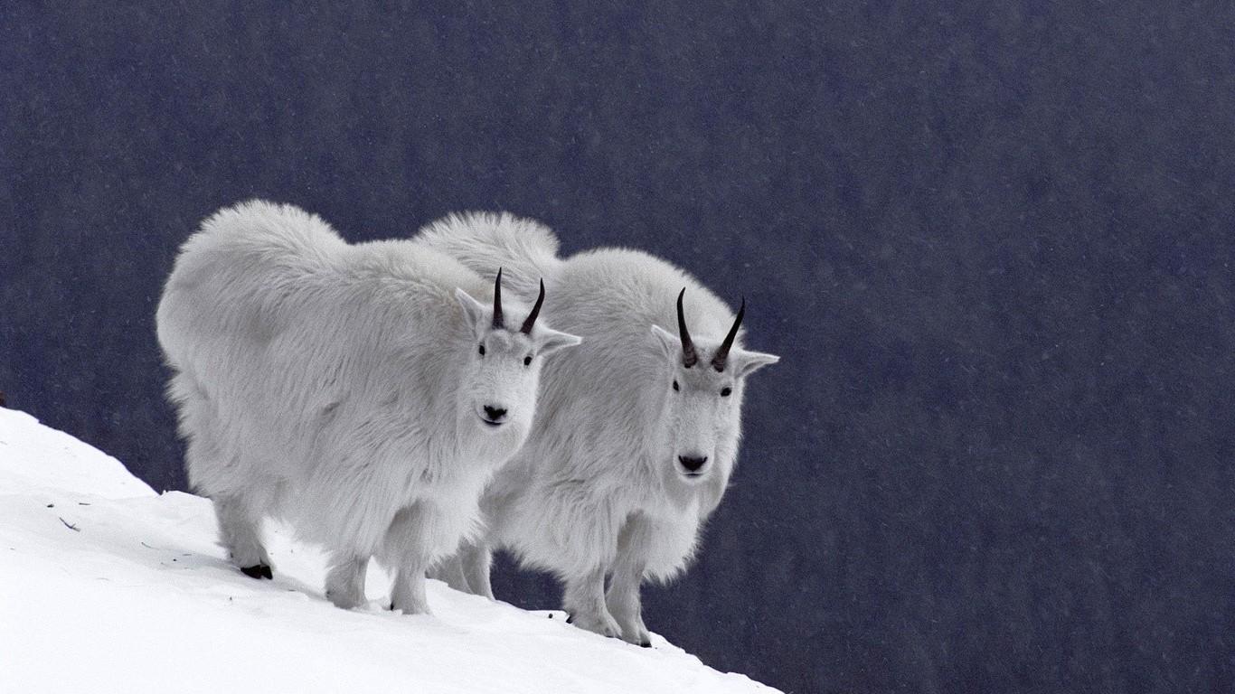 год козы обои на рабочий стол № 528537 загрузить