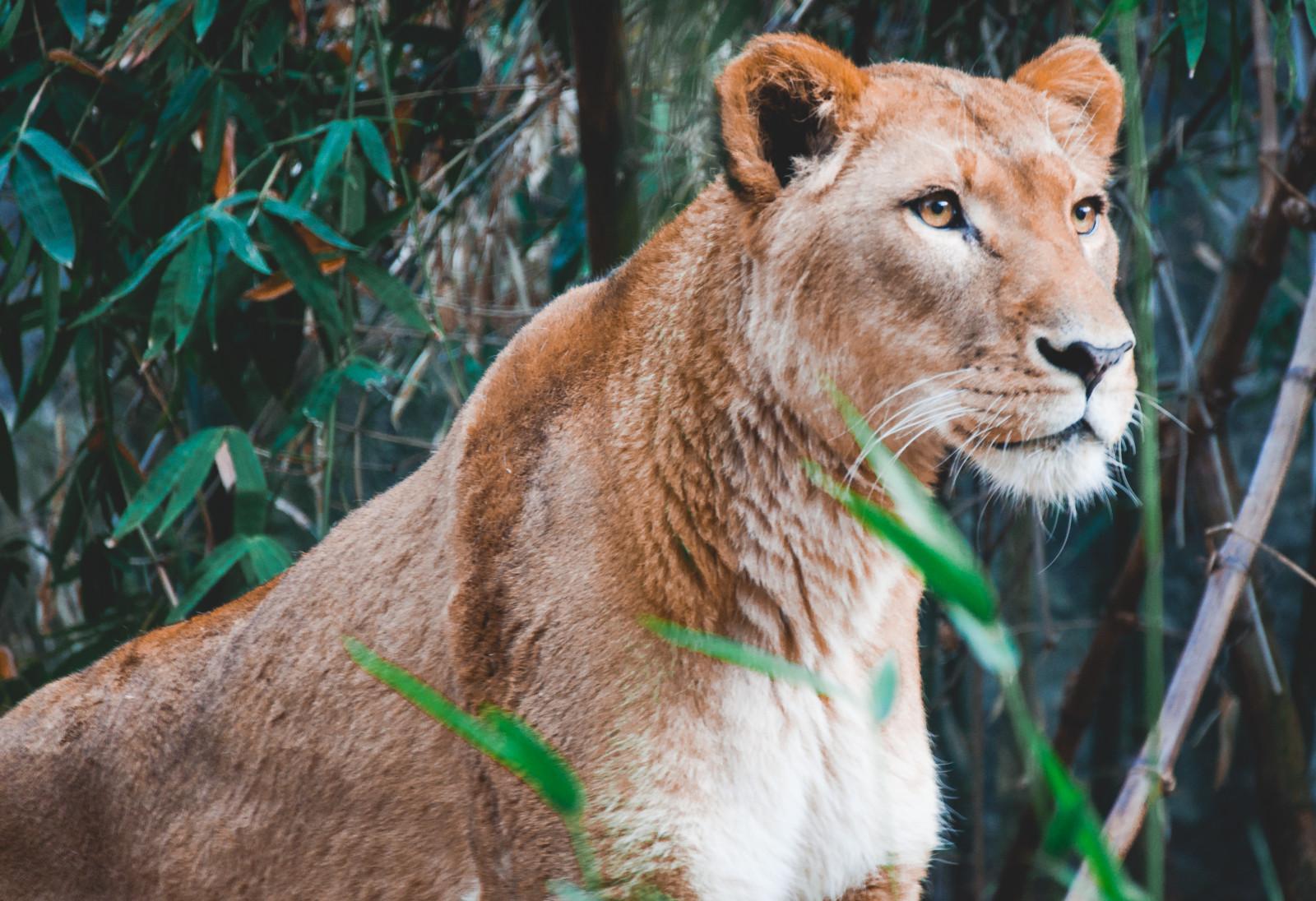 Sfondi leone natura grandi gatti zoo barba puma for Sfondi leone