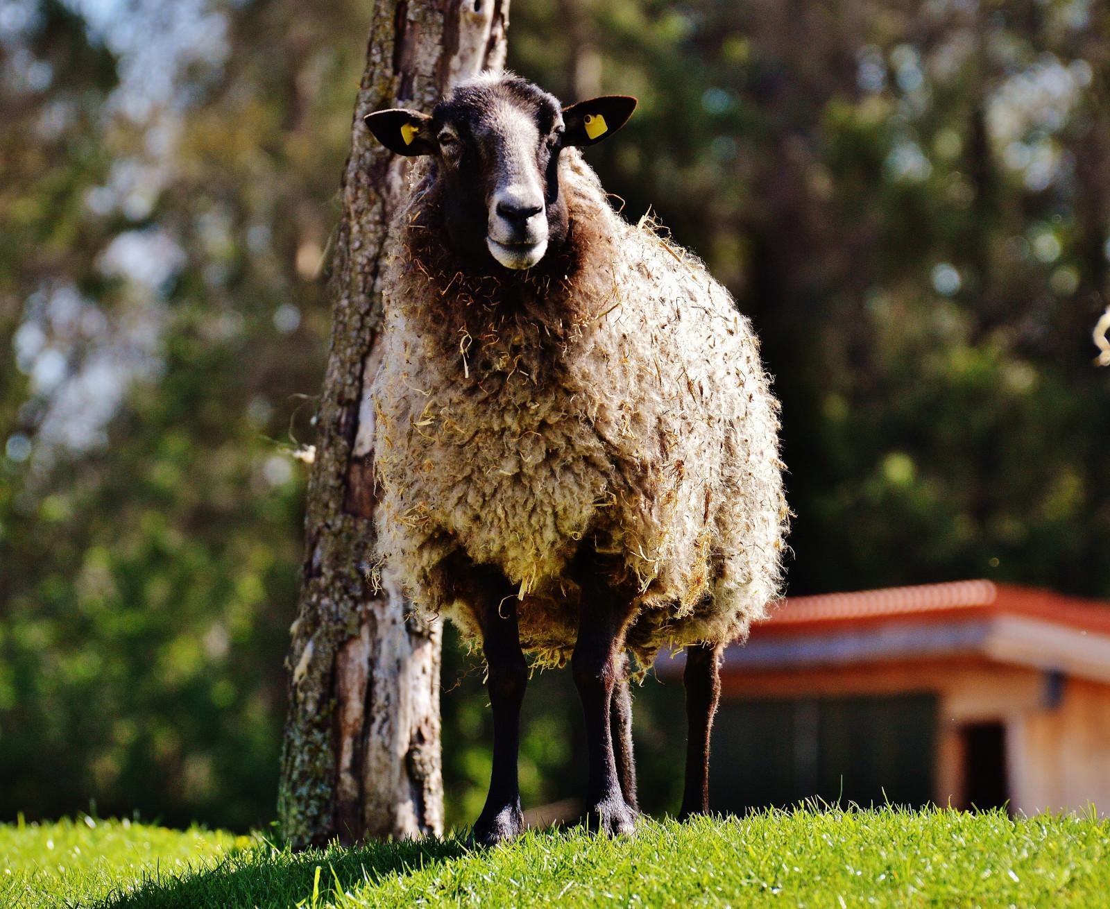 Открытка овечка фото, открыток днем