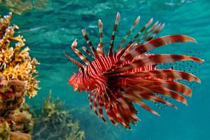 hintergrundbilder : tiere, meer, fisch, unterwasser, koralle, korallenriff, biologie, lionfish