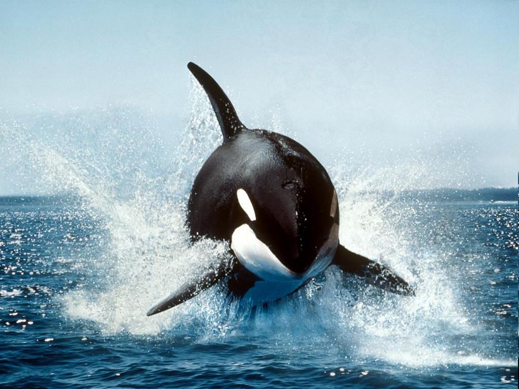 Fond D Ecran Mer Orca Dauphin Baleine A Bosse 1024x768