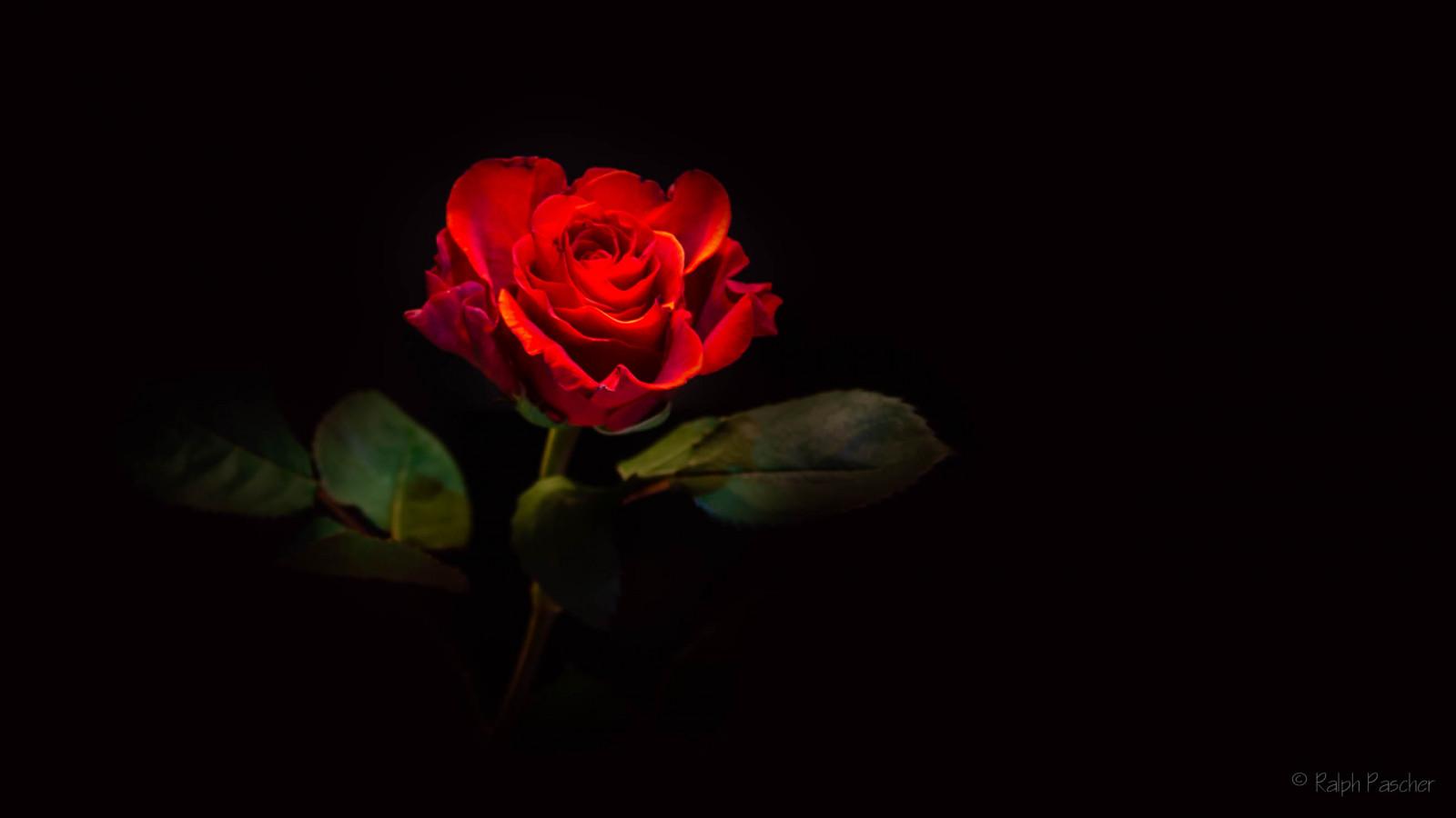Hình Nền : Đen, Đỏ, Nhiếp Ảnh, Bông Hồng, Ánh Sáng, Lá, Thực Vật, Gr N,  Gren, Bóng Tối, Cánh Hoa, Thúi, Schwarz, Dunkelheit, Blume, Hình Nền Máy  Tính, ...