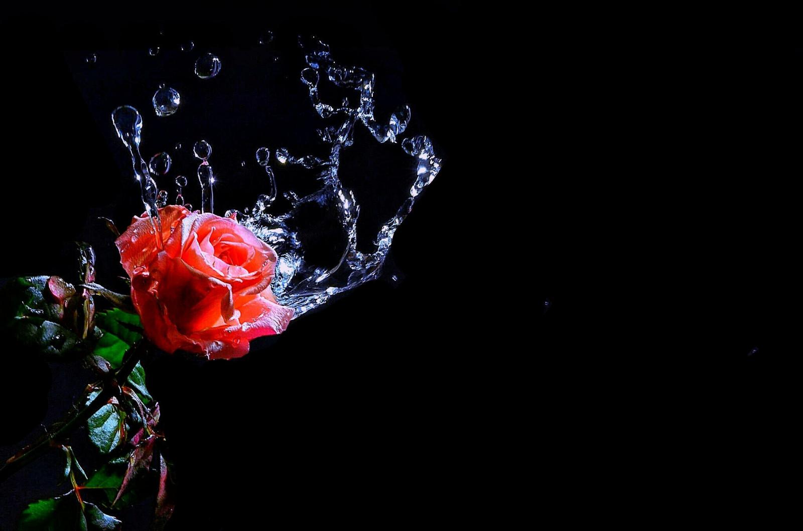 Fond d'écran : rose rouge, Macro, fond noir, larmes, gouttes d'eau, fourelementswater ...