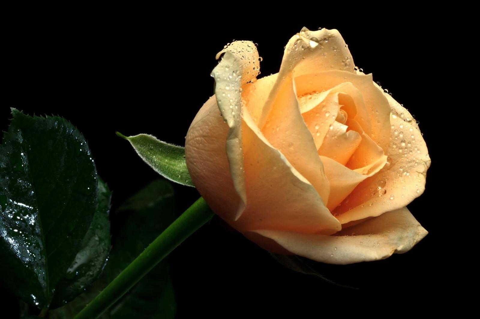 Сына, красивые картинки розы на черном фоне