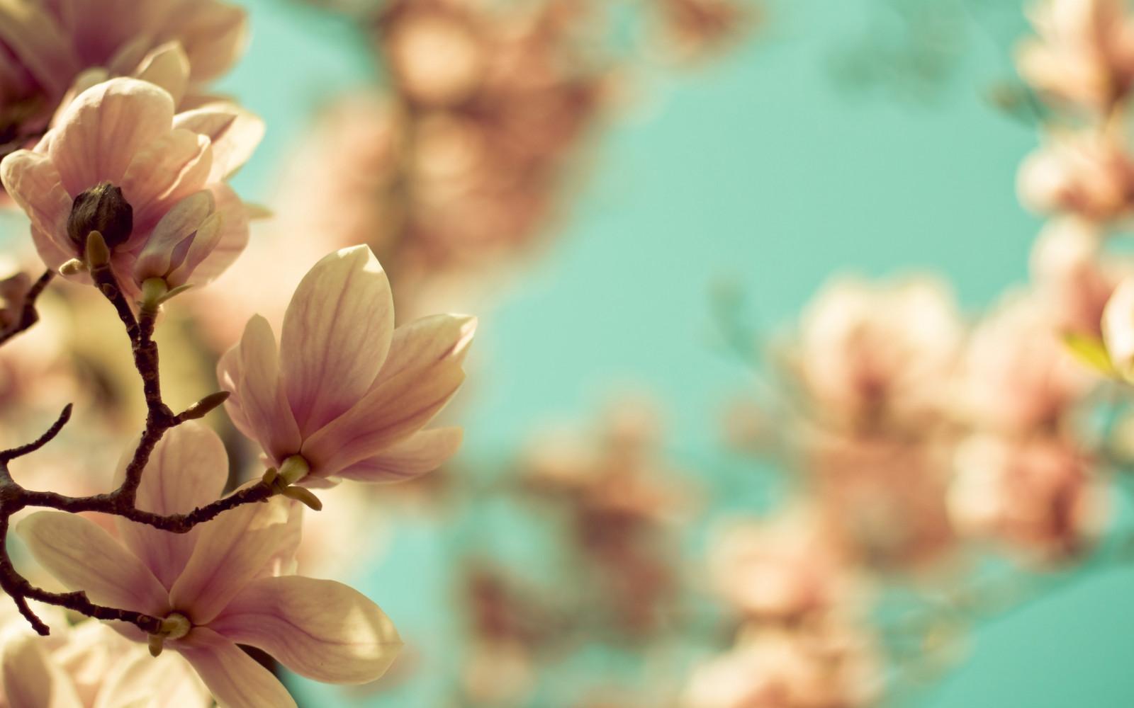 Картинка нежные цветы для фотошопа, тюльпаны