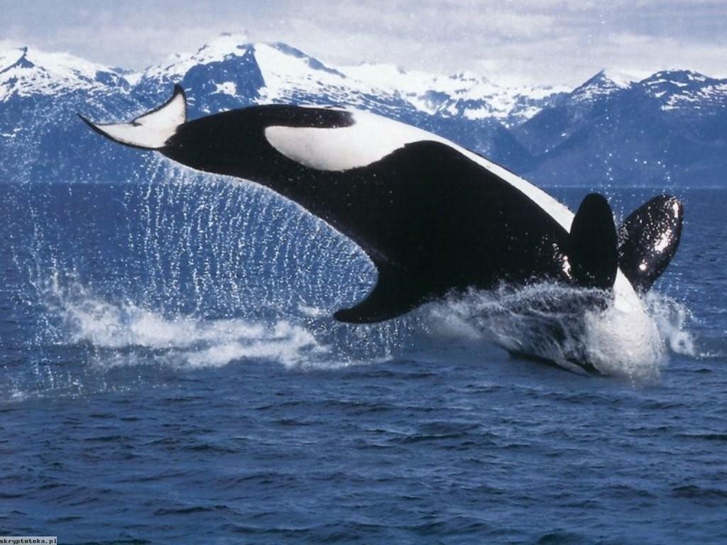 デスクトップ壁紙 水 鯨 オルカ ザトウクジラ 哺乳類 脊椎動物