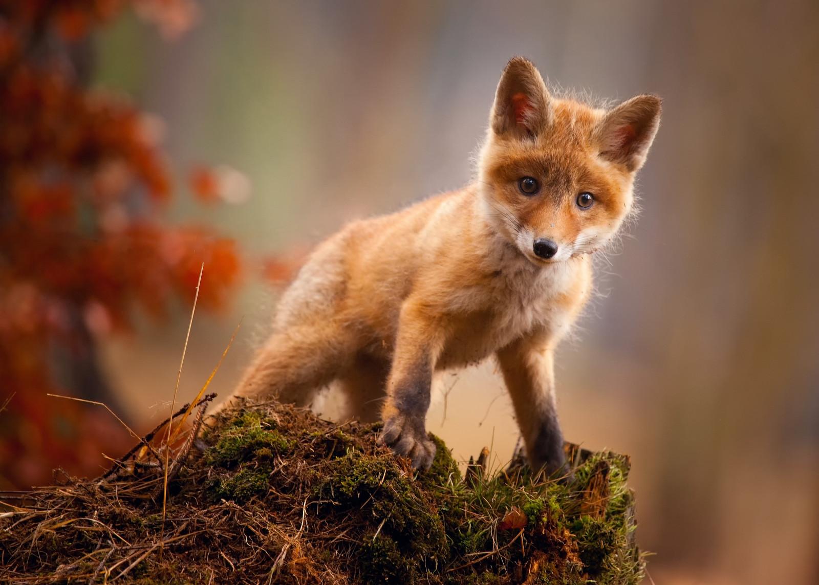 Hintergrundbilder : Tiere, Fuchs 2500x1786