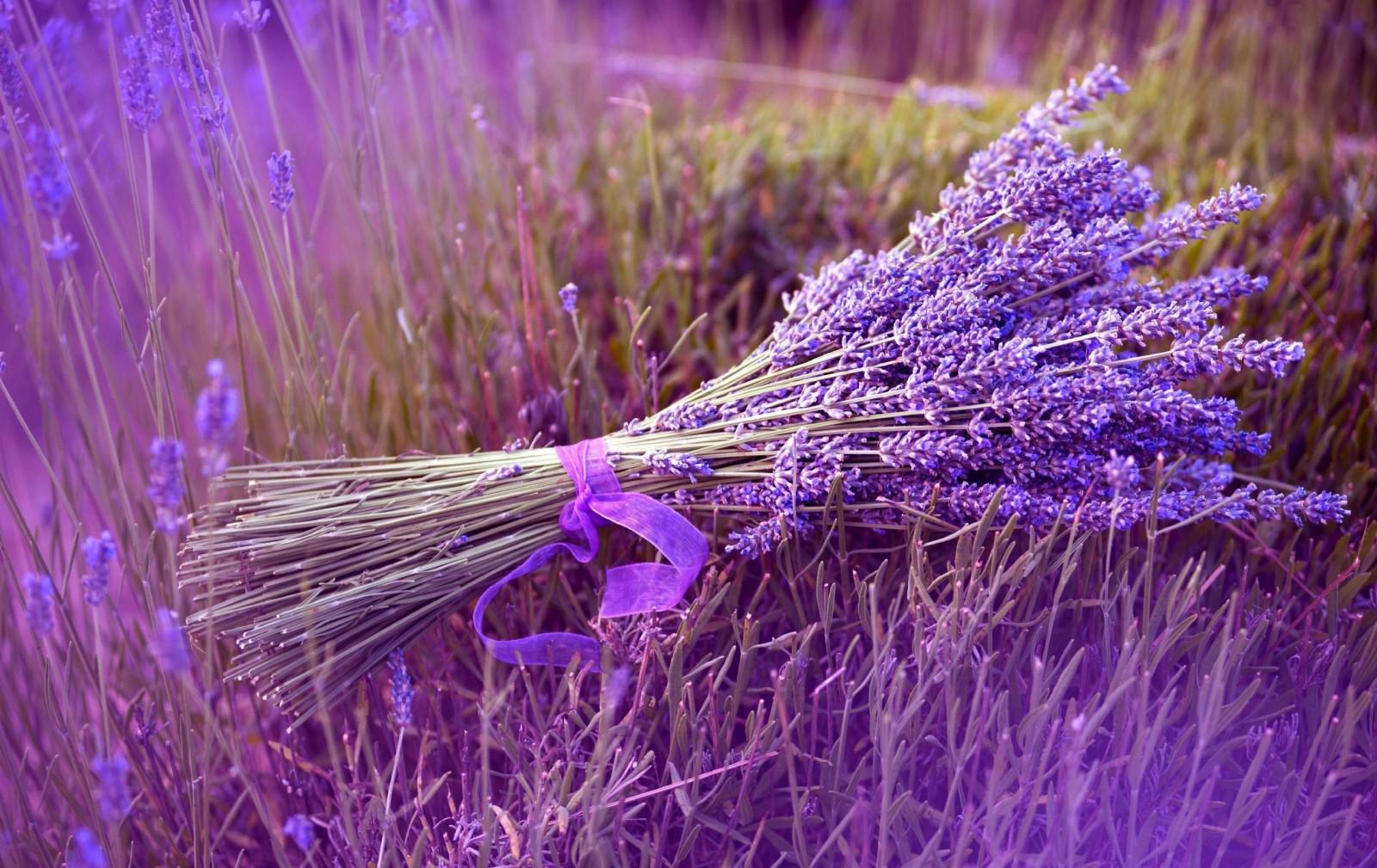 lavender, flower, ribbon, field