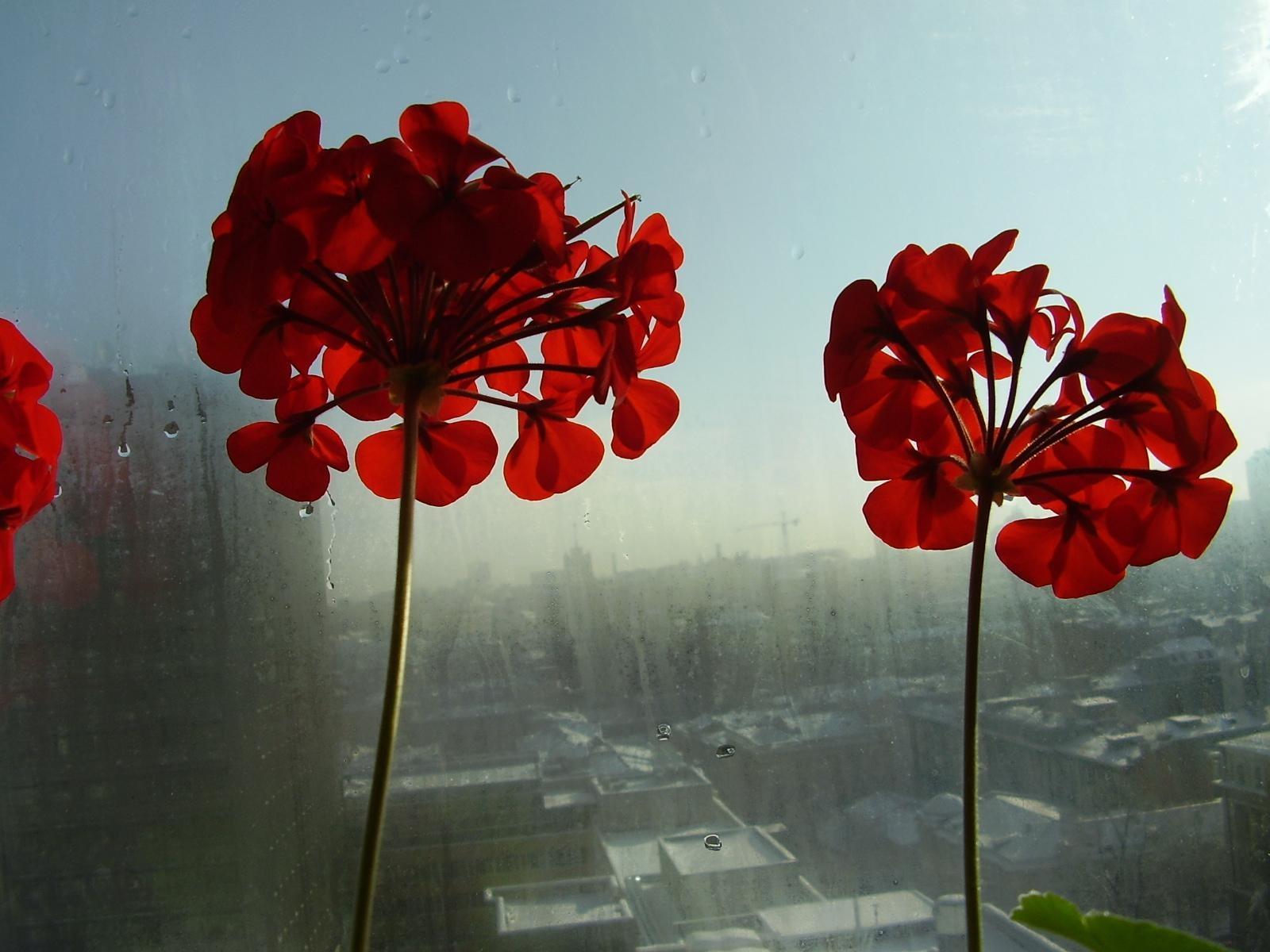 Фото уличных цветов красного цвета