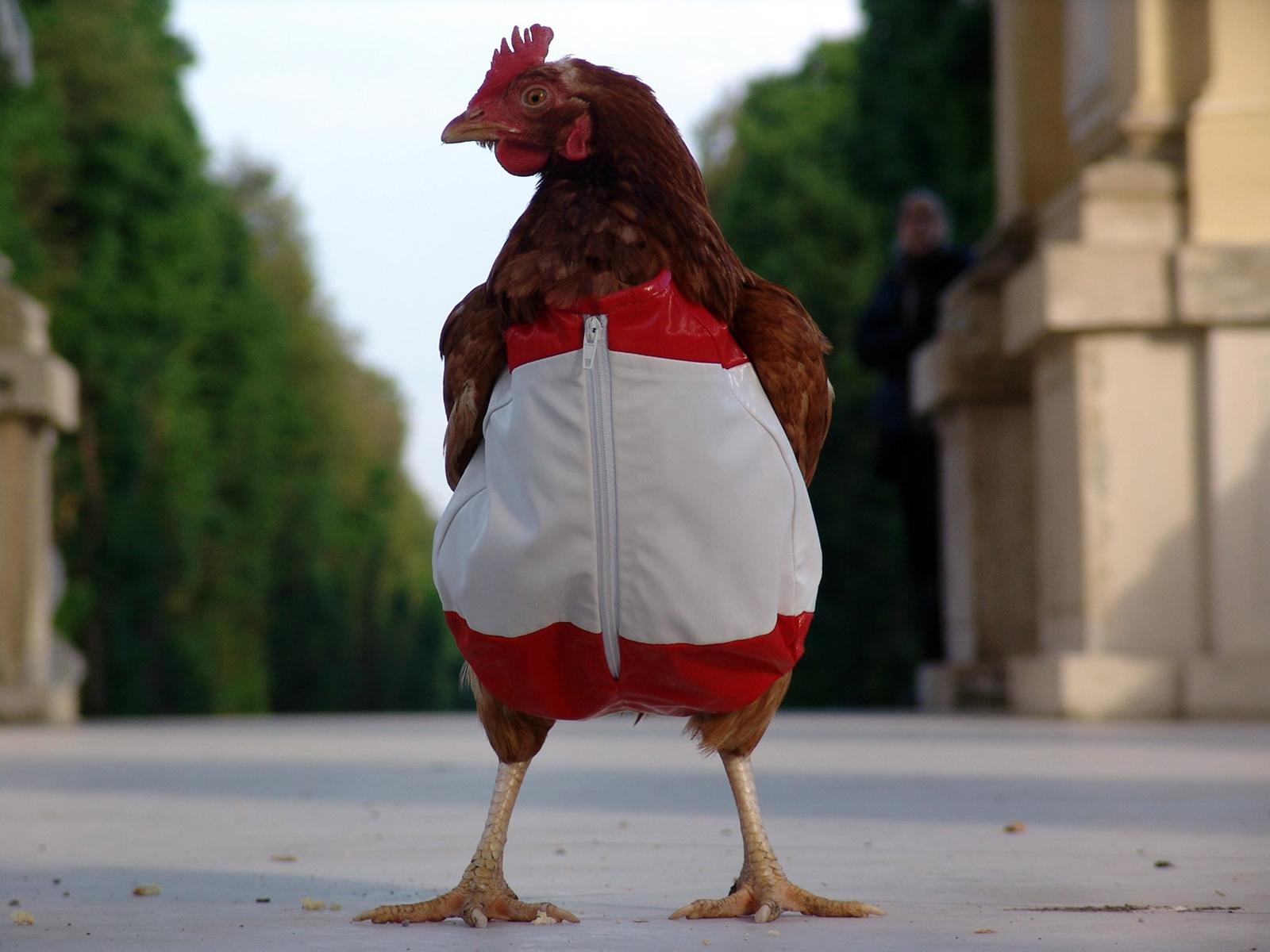 Прикольная картинка курица, картинках смешные картинки