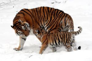 Veľká mačička veľké prsia
