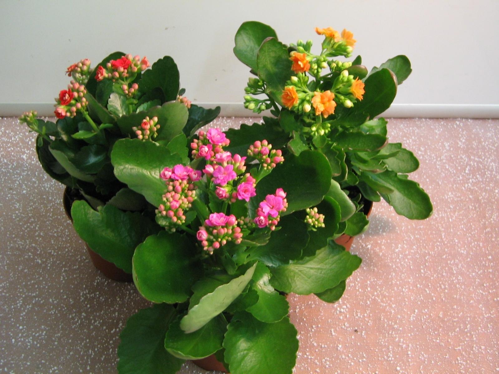 Каланхоэ домашний цветок уход