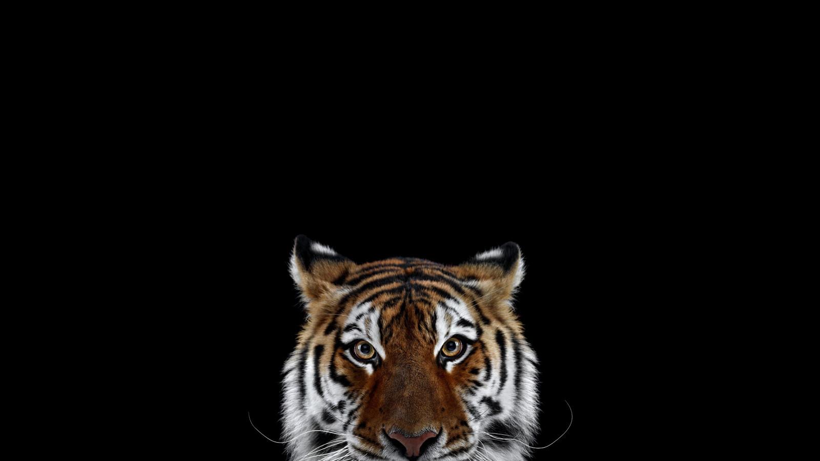 6600 Gambar Hewan Macan Hitam HD Terbaik