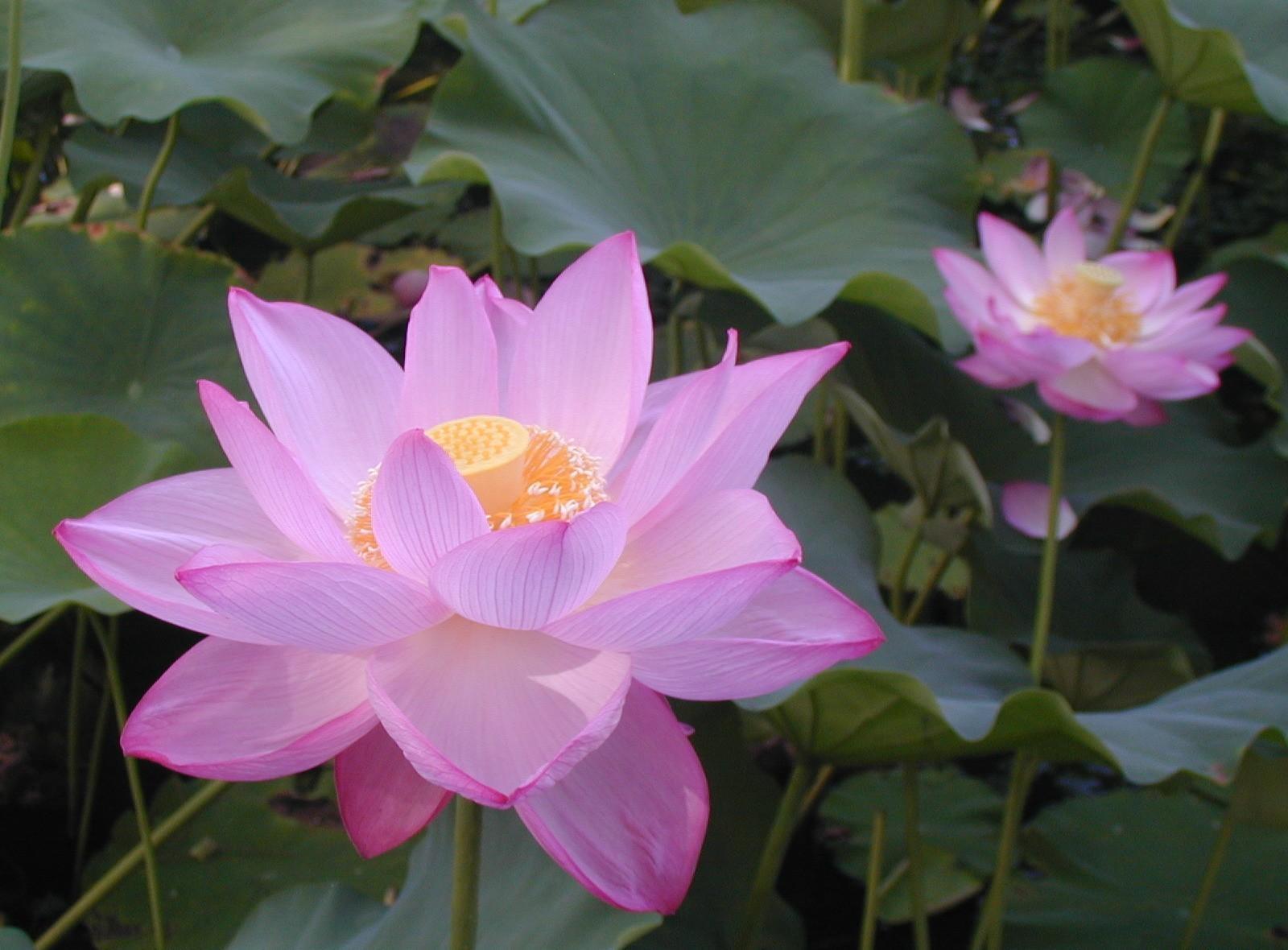 Lotus, pink, leaves, herbs