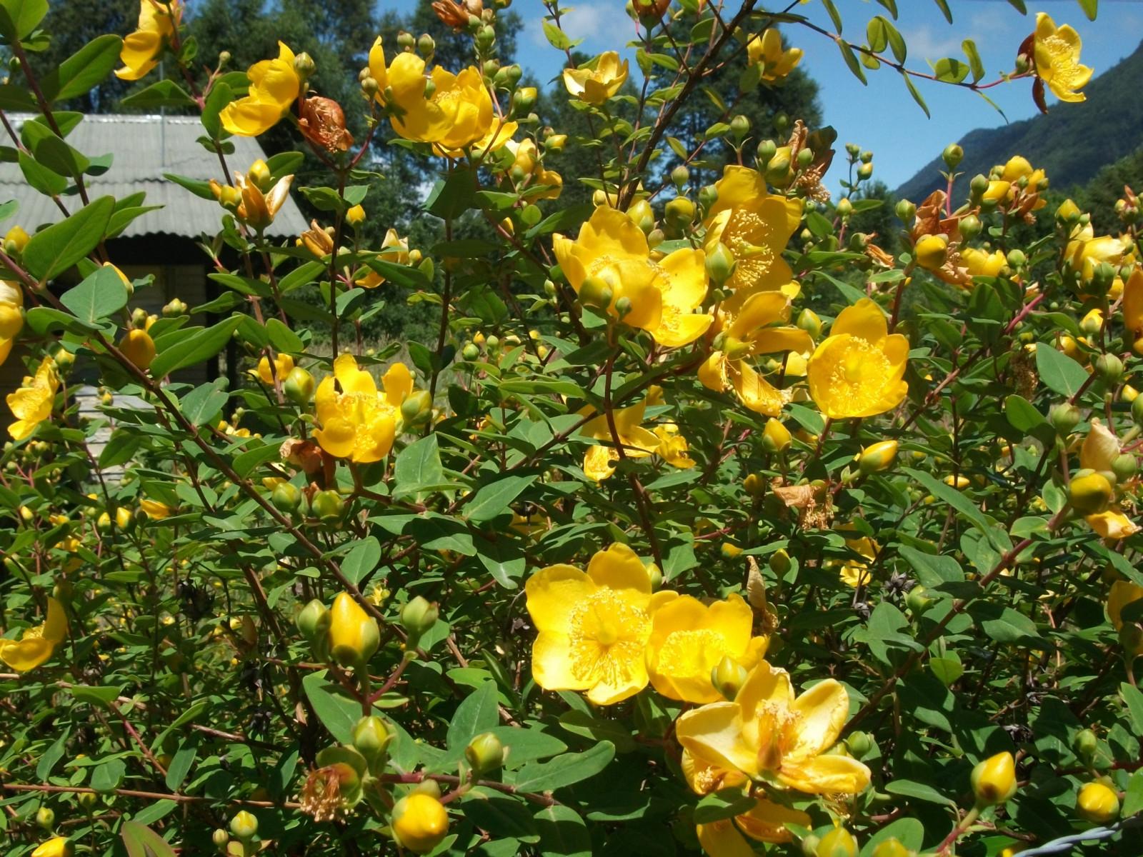fond d 39 cran la nature fleurs jaunes les plantes jaune feuilles persistantes fleur. Black Bedroom Furniture Sets. Home Design Ideas