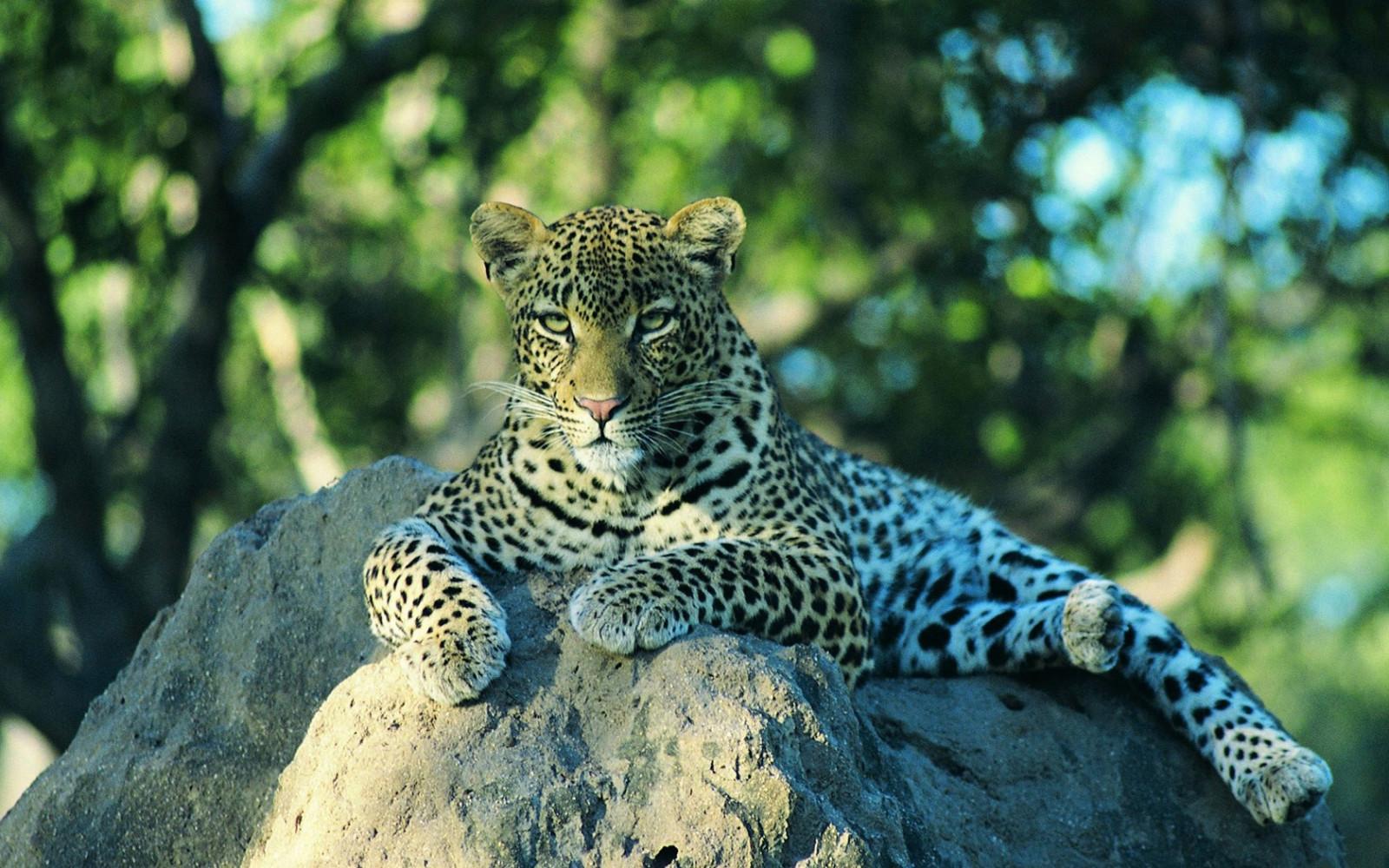 Картинки тигра леопарда
