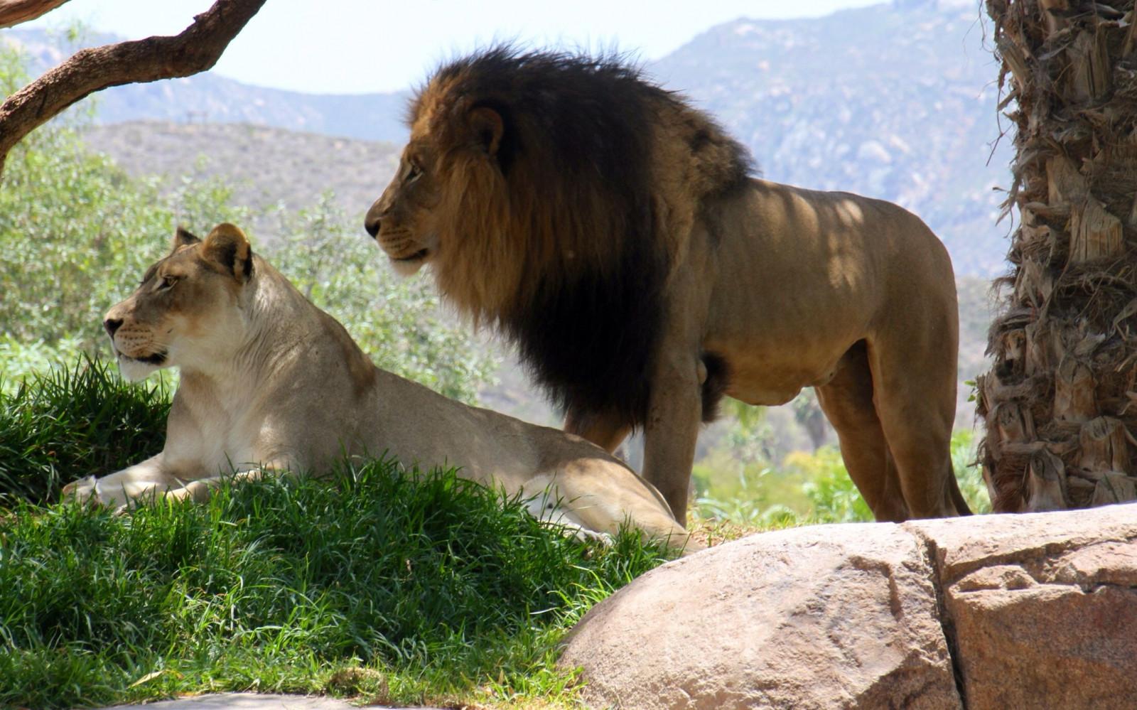 узнать картинки на рабочий лев на природе несколько лет после