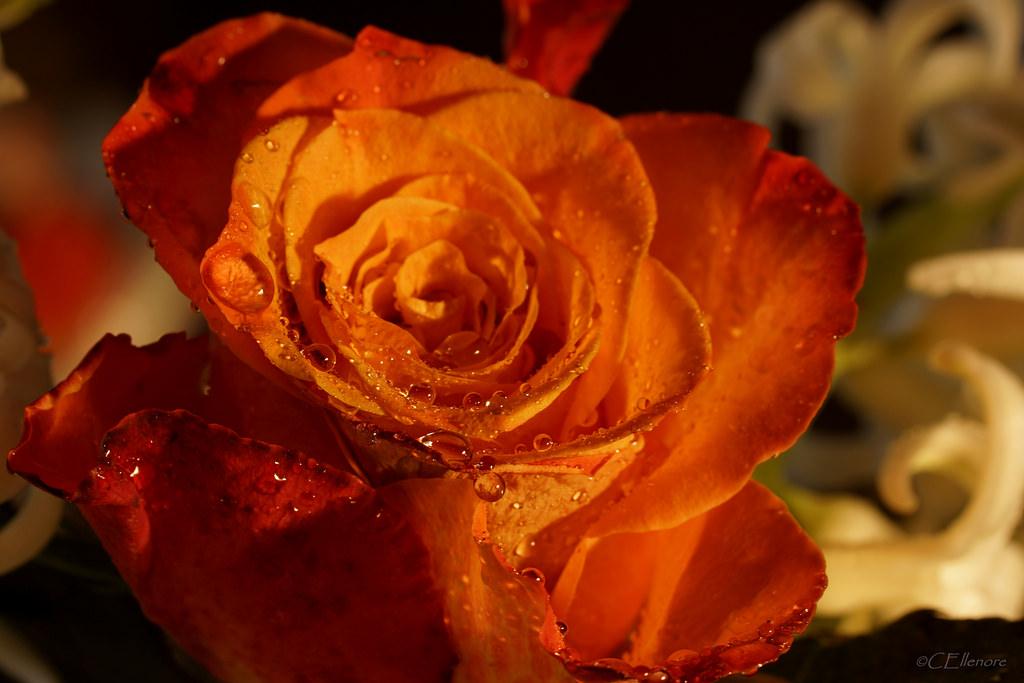 03022017 rose edelrose rosenbl te bl te blume flower bl tenzauber 944422