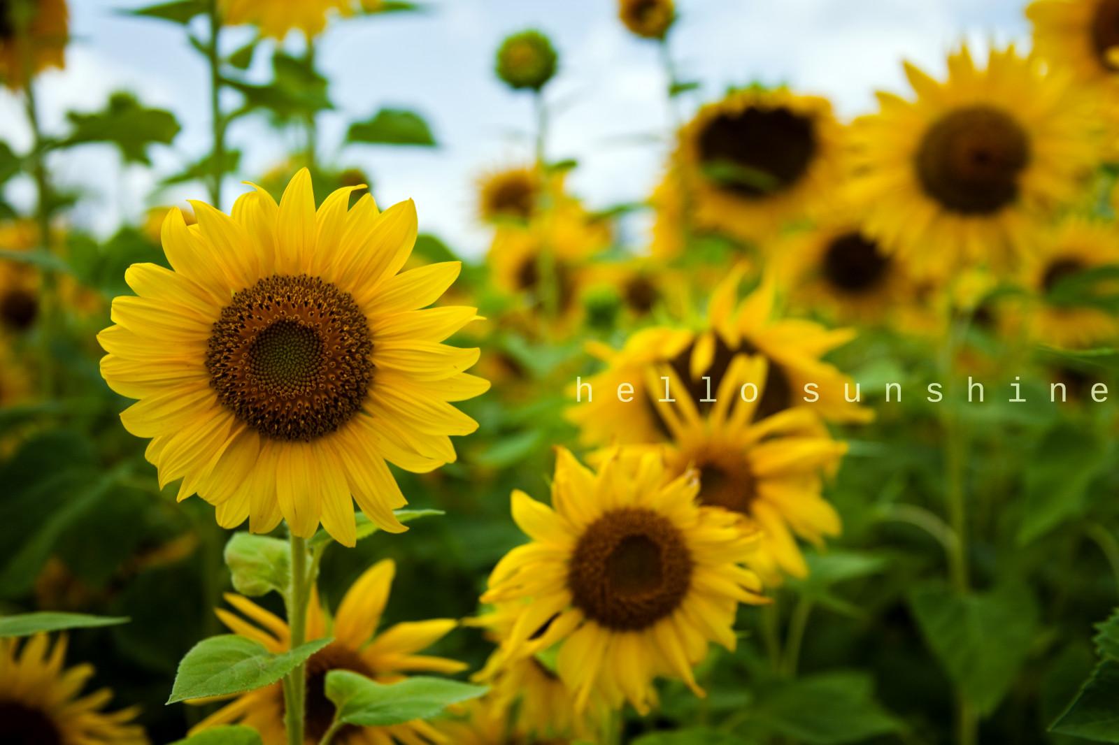 Wallpaper Bunga Matahari Kuning Biji Bunga Matahari Tanaman Berbunga Keluarga Daisy Menanam Tanaman Tahunan Daun Bunga Bidang 5214x3477 921968 Hd Wallpapers Wallhere