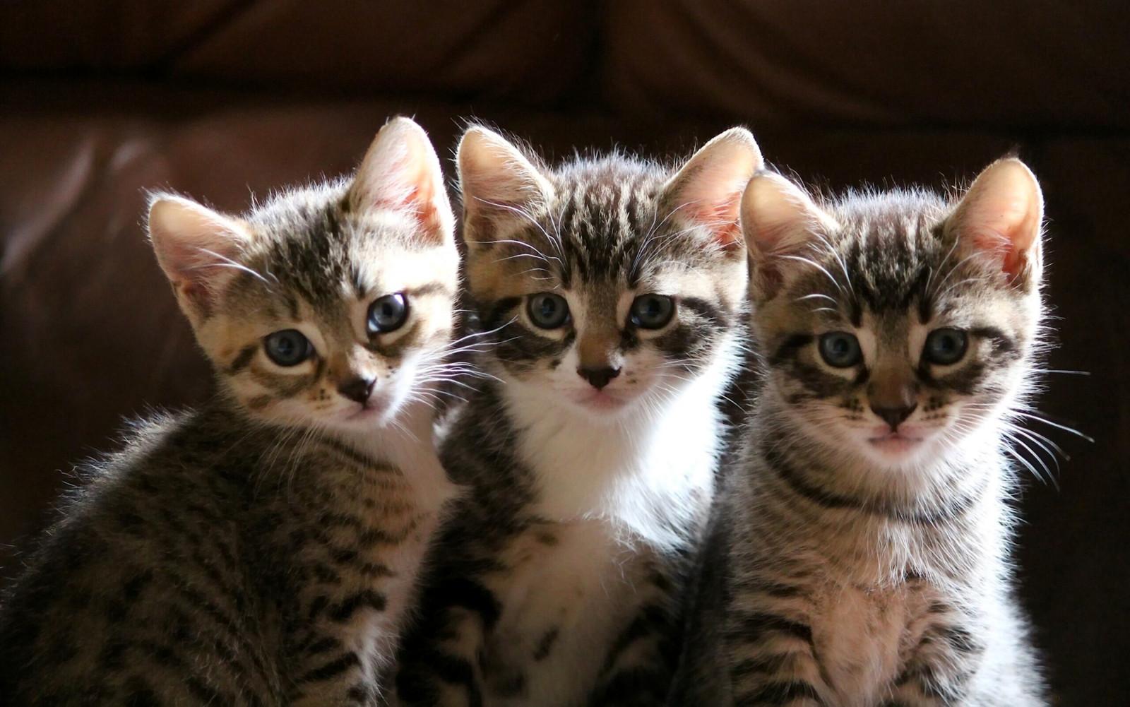 デスクトップ壁紙 ネコ 子猫 ストライプ ウィスカー サバンナ