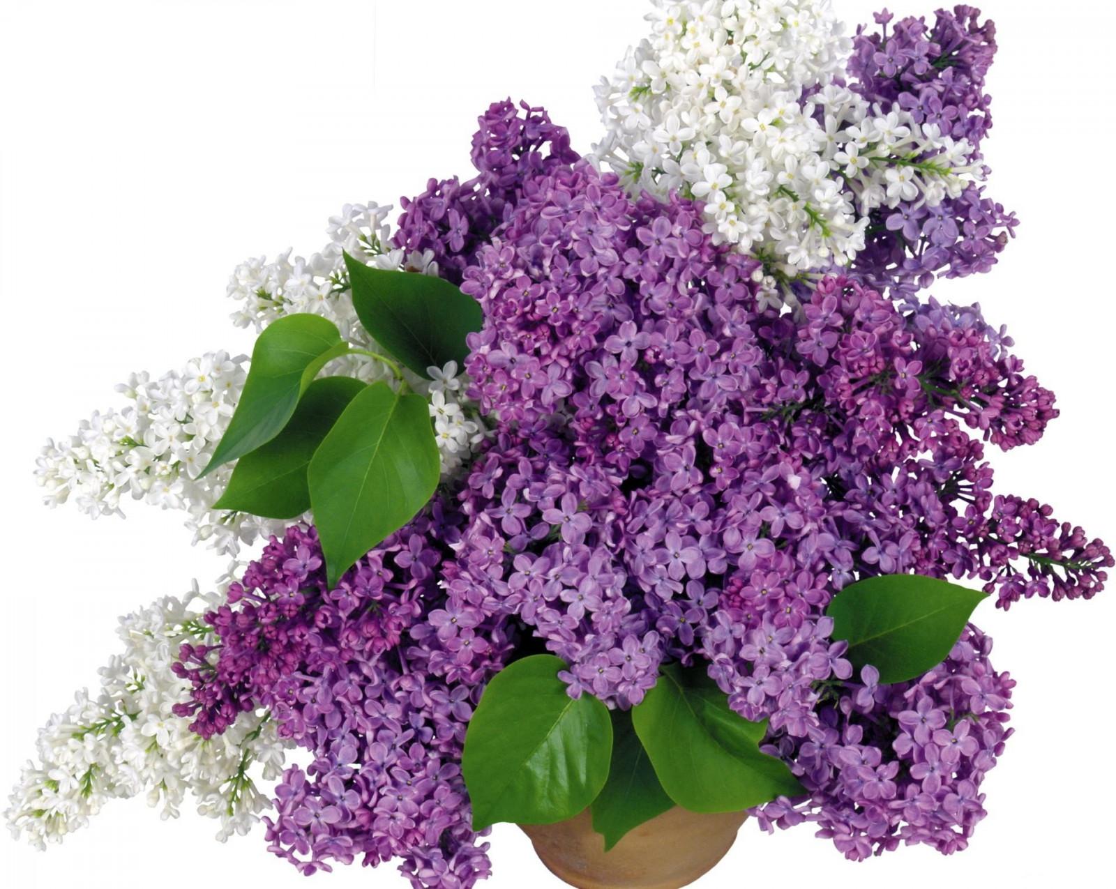 Hintergrundbilder : Flieder, Blühen, Strauß, Vase, Weiß