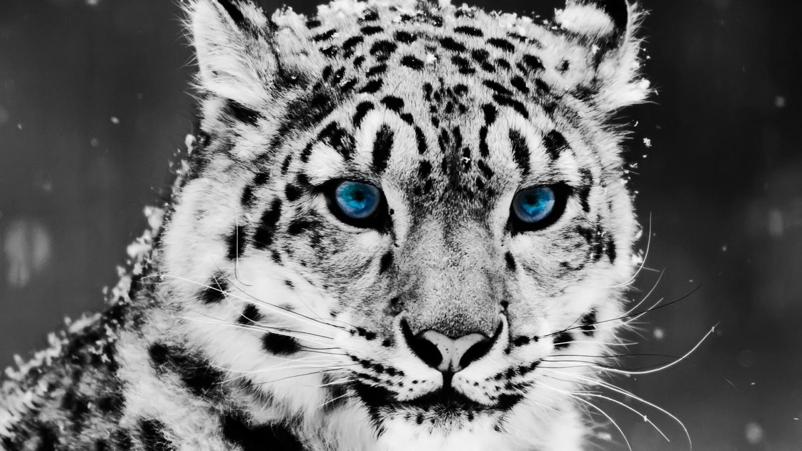 Wallpaper hewan satu warna harimau mewarnai selektif margasatwa kucing besar cambang macan tulul Jaguar macan tutul salju Macan Tutul Salju