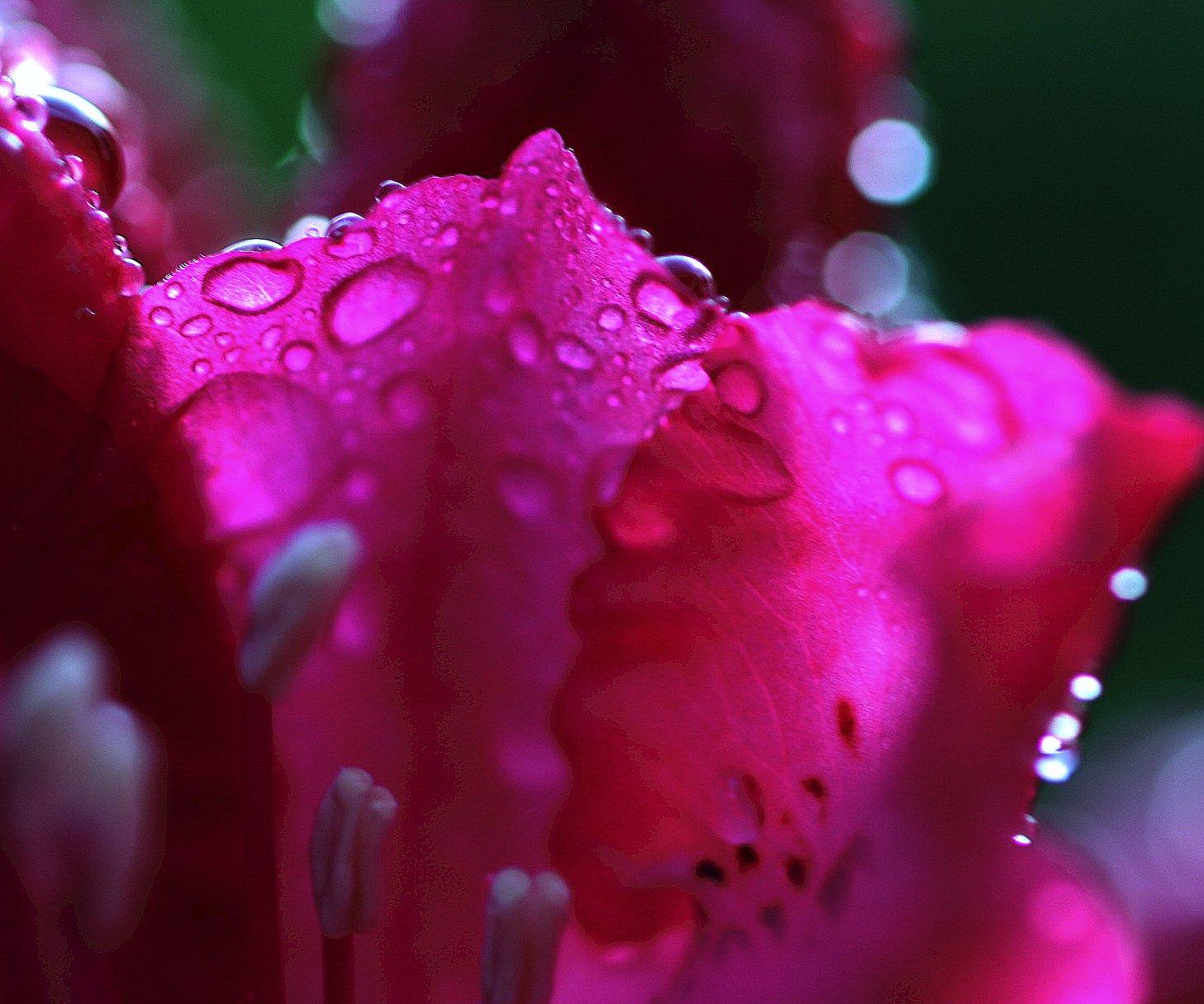 Wallpaper Garden Water Red Blossom Pink Dew Magenta