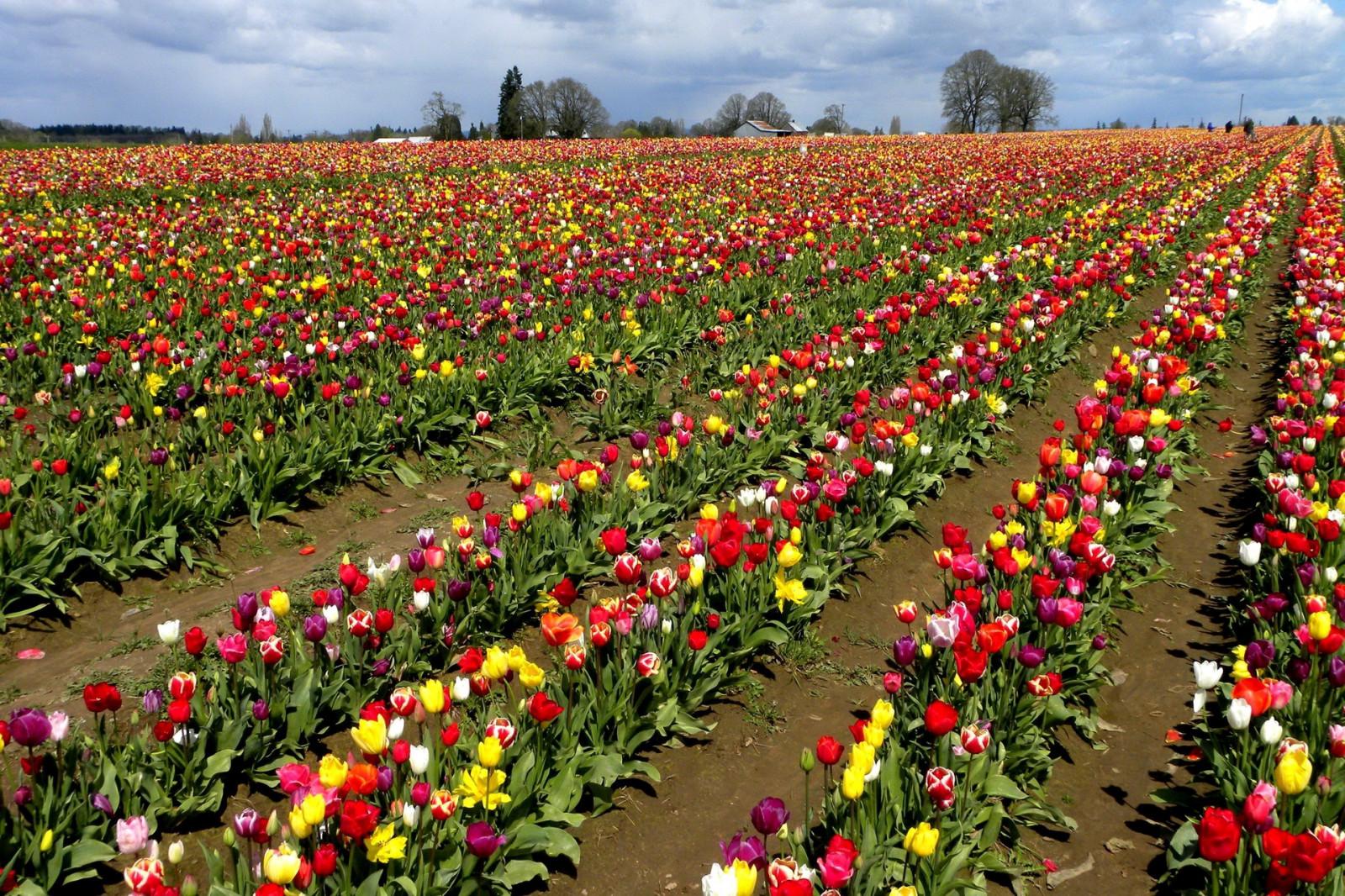 сахар разбить картинки красивый цветущих на полях тюльпанов скандальная личная жизнь