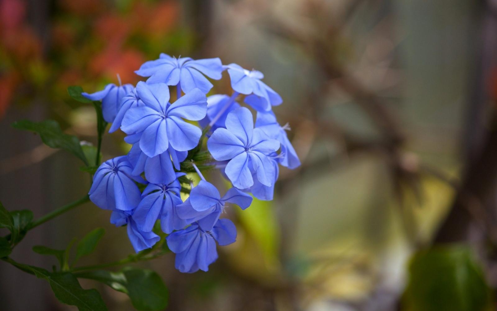 Hintergrundbilder Blaue Blume: Hintergrundbilder : Blumen, Natur, Makro, Blau, Blühen