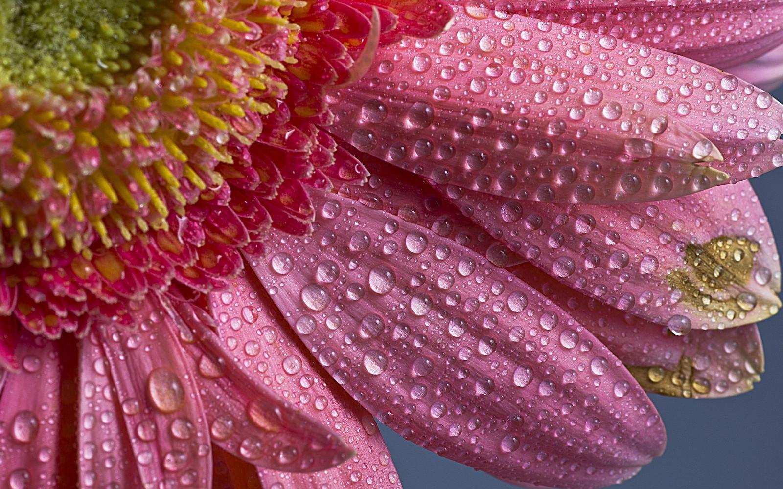 Картинки цветы в росе высокого разрешения
