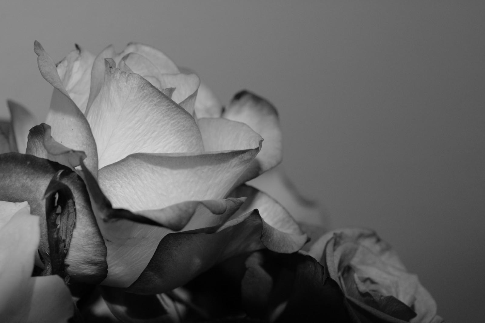 Fond D Ecran Monochrome La Photographie Macro Rose Pays Bas