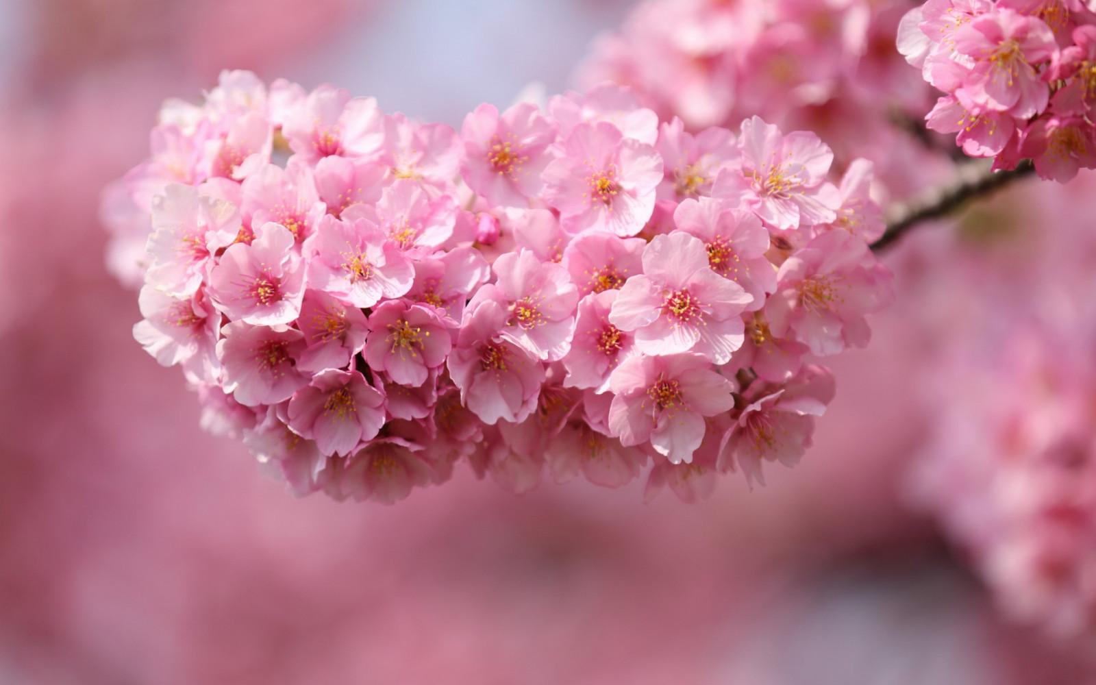 1920x1200 px, blurred, cherry, close, flowers, Japan, macro, petals, pink, sakura, twigs, up, wood