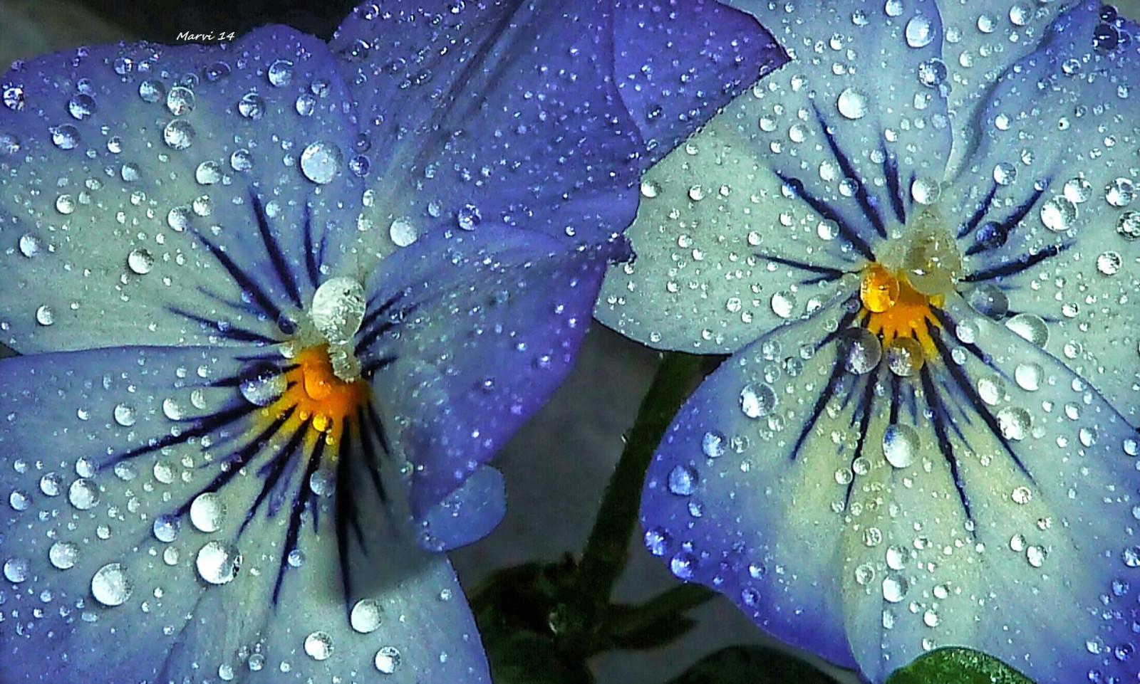 hintergrundbilder blumen garten nacht wasser natur herz regen lila makro blau. Black Bedroom Furniture Sets. Home Design Ideas