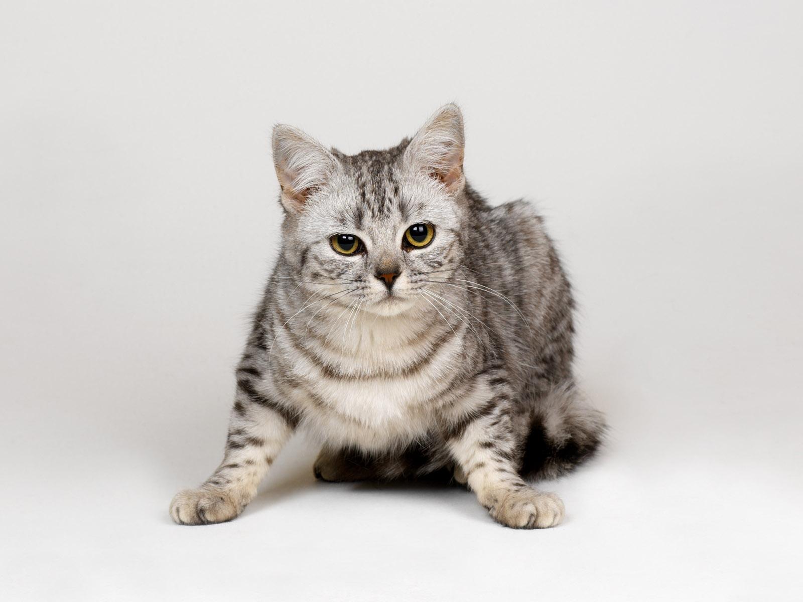 Wallpaper Asian Grey Fur Whiskers British Shorthair Kitten Fauna Strips Cat Like Mammal Snout Small To Medium Sized Cats Carnivoran Tabby Cat Domestic Short Haired Cat European Shorthair Pixie Bob American