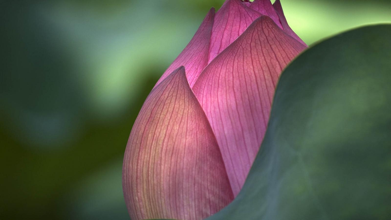 leaves, photography, green, petals, blossom, pink, Lotus, leaf, flower, plant, flora, bud, petal, botany, land plant, flowering plant, close up, macro photography, plant stem, aquatic plant, sacred lotus, lotus family