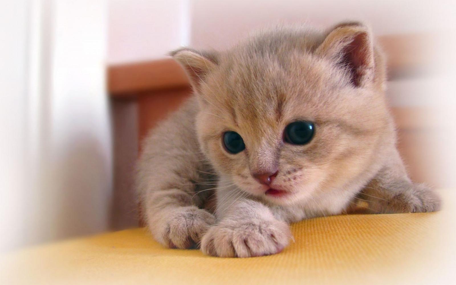 Купить британских котят коты и кошки голубые лиловые черные ... | 1000x1600