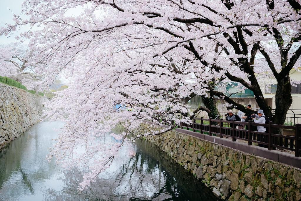Download 71 Wallpaper Jalan Bunga Sakura Gratis