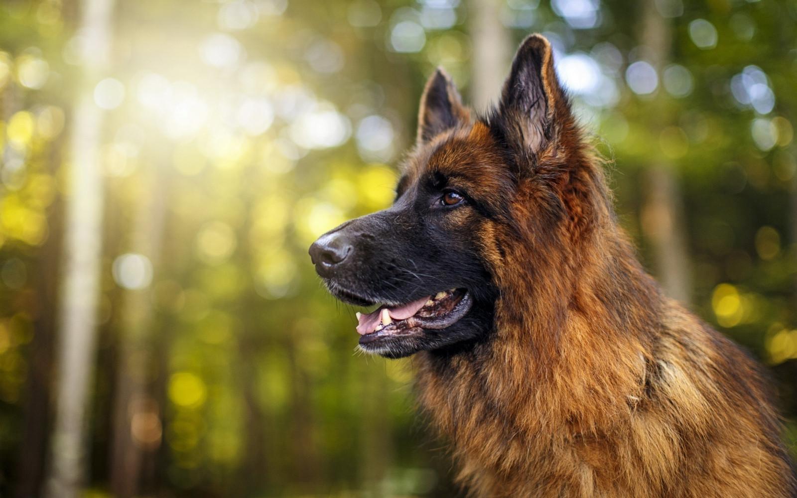 обои : 1920x1200 px, Животные, собака, лес, Немецкая ...