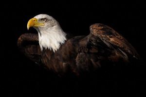41+ Foto Gambar Burung Elang Harley  Paling Bagus