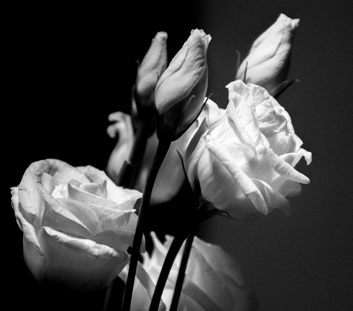 Fond D Ecran Monochrome La Photographie Rose Noir Et Blanc