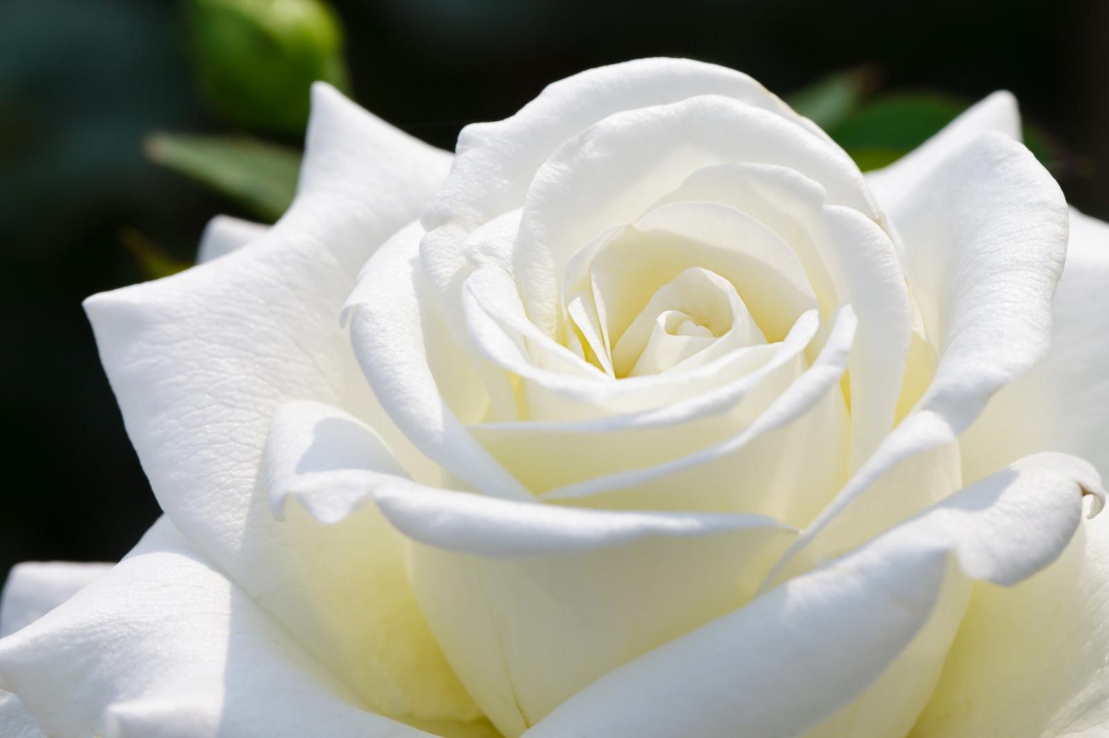 Белые розы картинки