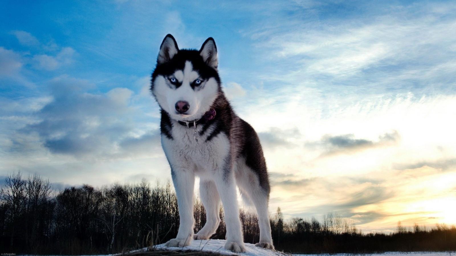 1080 Huky Puppies: Fondos De Pantalla : Invierno, Husky Siberiano, Malamute