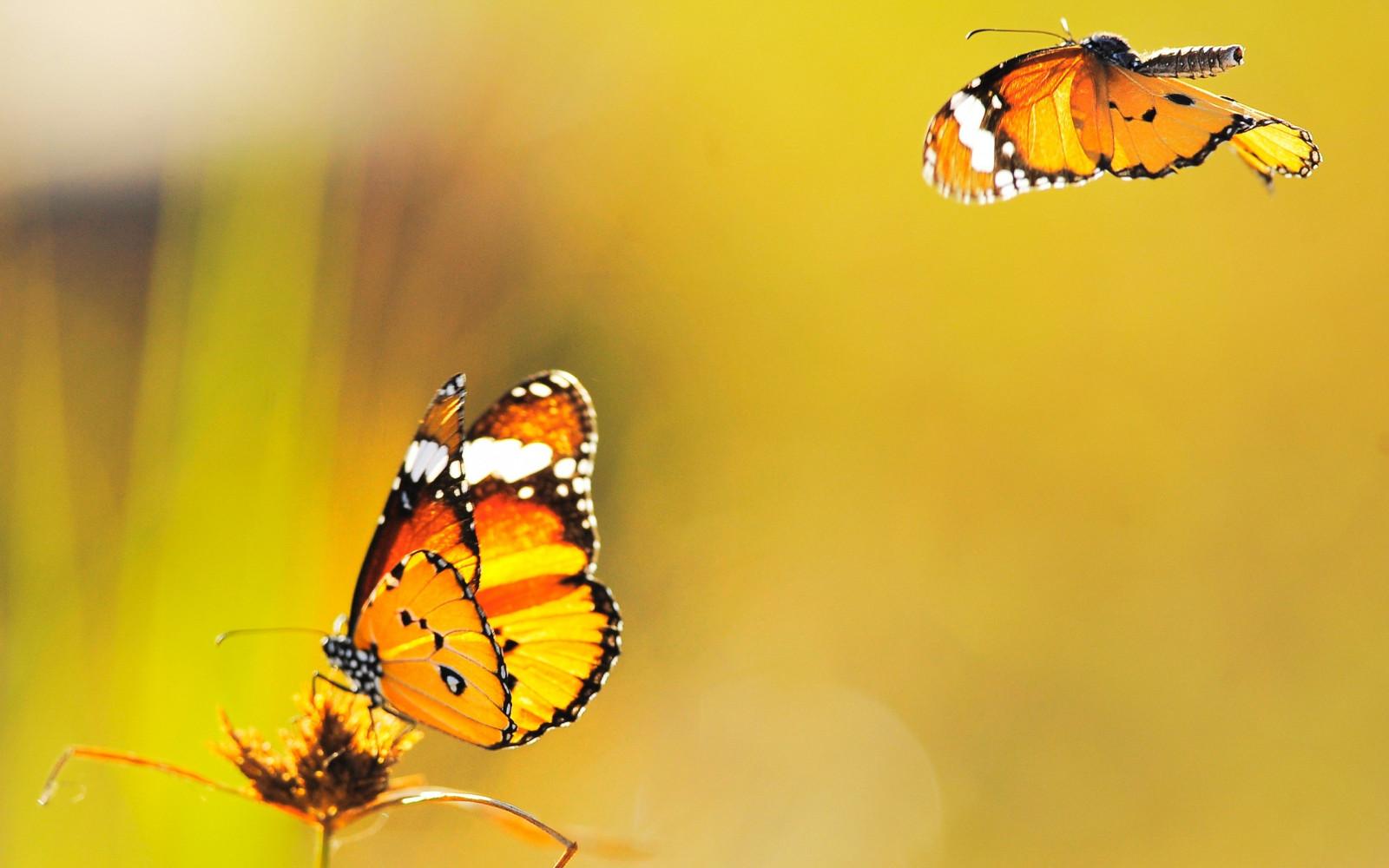 Картинки летающие бабочки