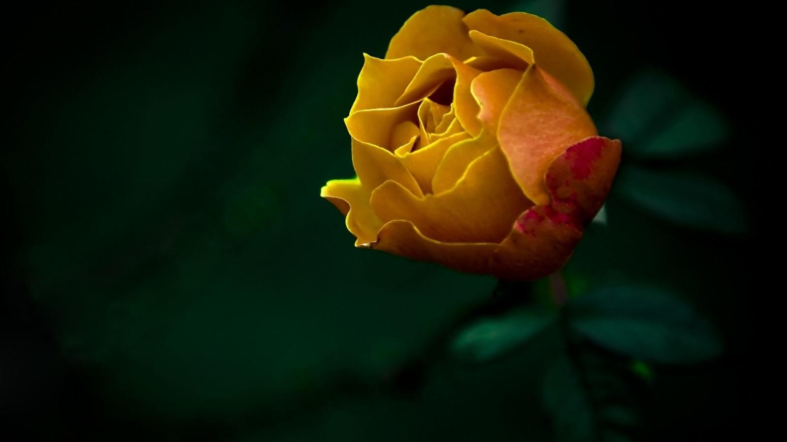 волки держатся картинки растоптать желтую розу норебо