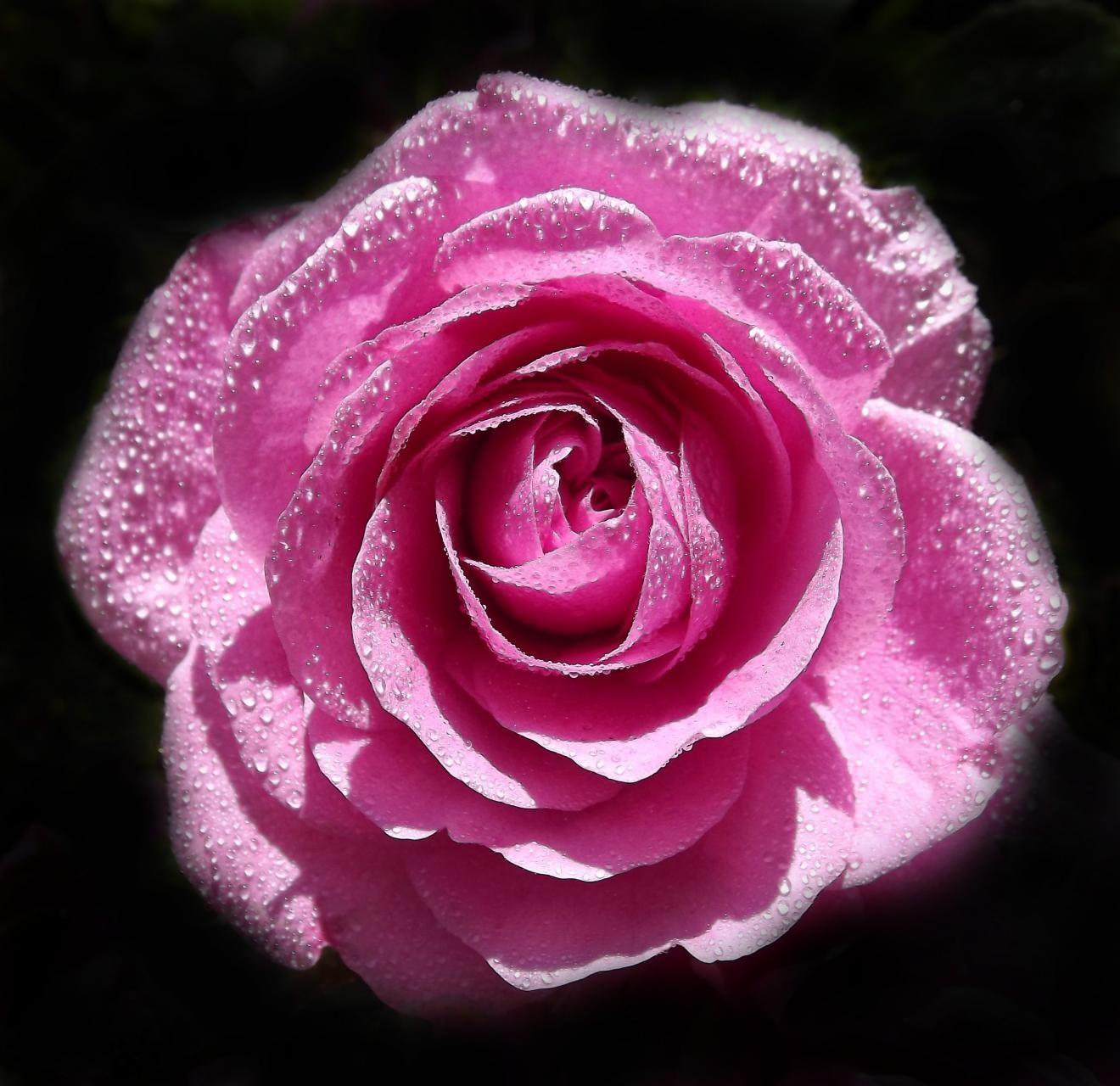 Сильверия цветок