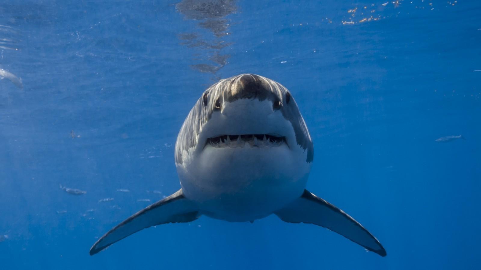 Fond D écran Mer Poisson Sous Marin Grand Requin Blanc