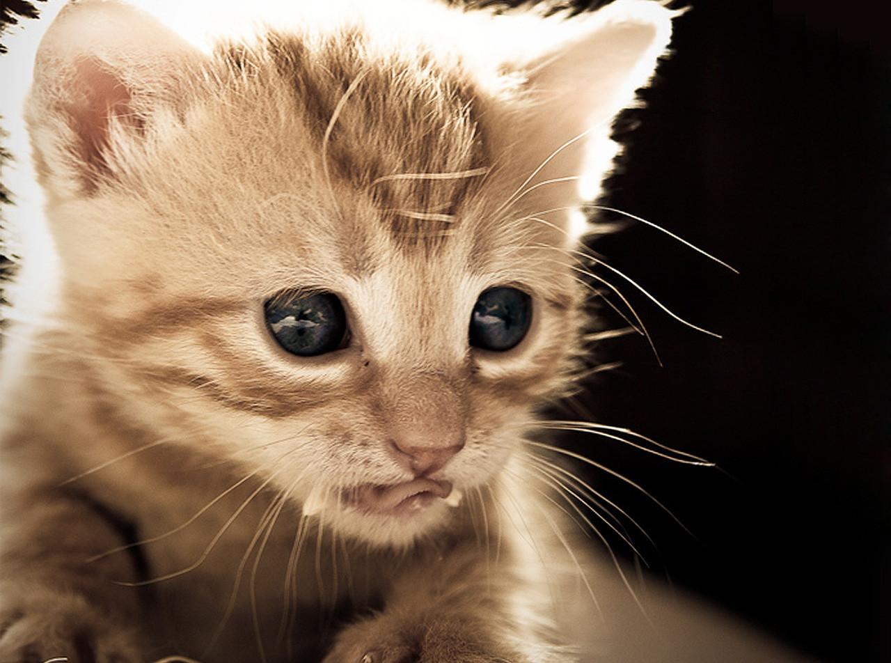 Asijské velké kočička obrázky