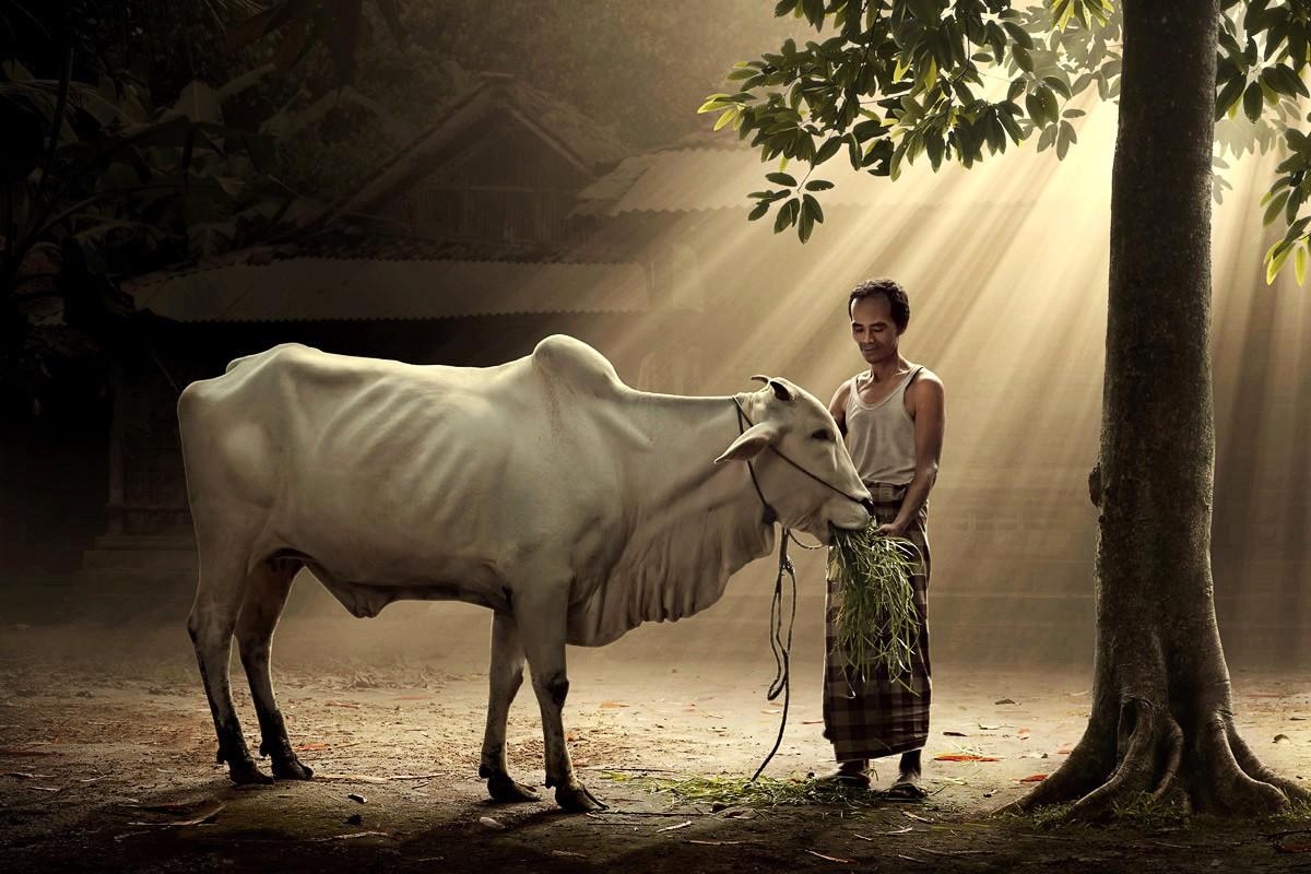 牛飼いの動物壁紙